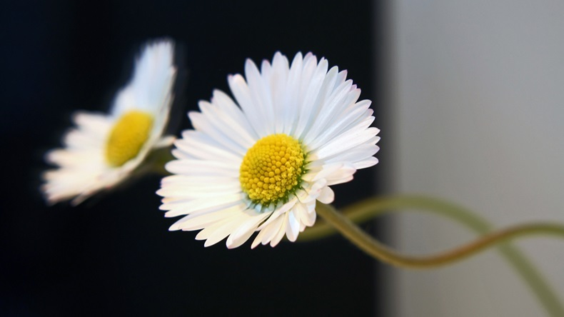A daisy reflected in a mirror